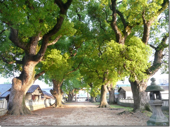 一宮神社の楠の木