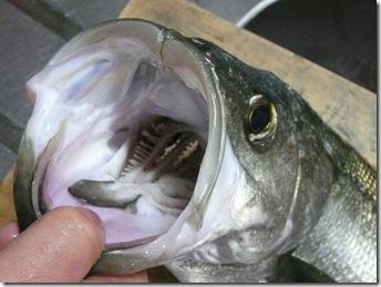 スズキを釣ってきました。大きいお口!