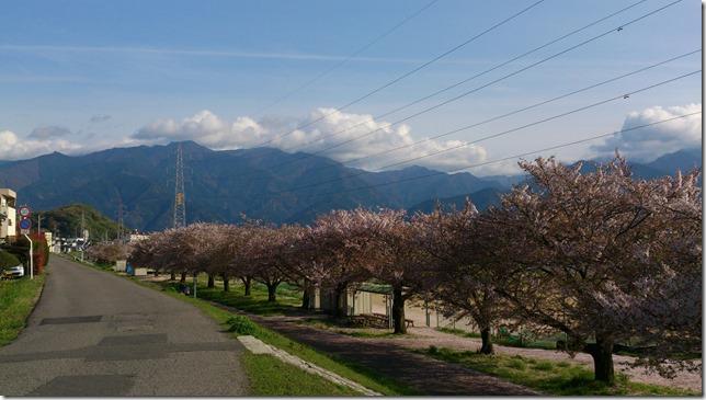 土手沿いの桜並木