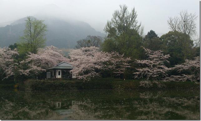 廣瀬公園の桜